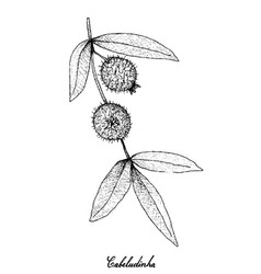 hand drawn of cabeludinha fruits on white backgrou vector image