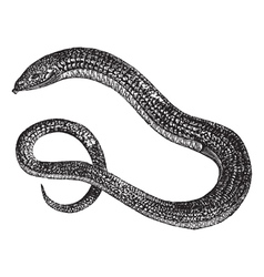Eastern Glass Lizard vector image