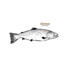 ink sketch of salmon hand drawn of vector image