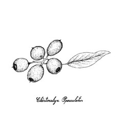 Hand drawn of cleistocalyx operculatus fruits on w vector