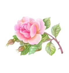 Watercolor garden rose isolated on white vector image