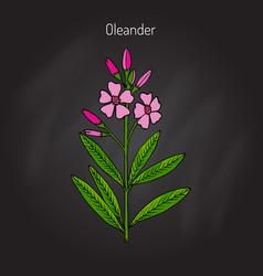 oleander nerium oleander vector image