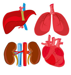 Internal organs of the person vector