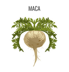 maca ayurvedic medicinal herb isolated root vector image