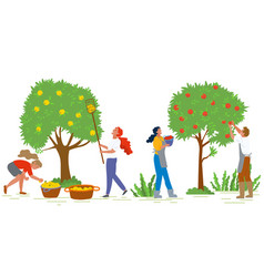 Picking apples farming and agricultural harvest vector