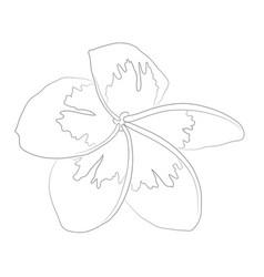 frangipini plumeria vector image