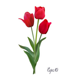 red tulips isolated on white background close up vector image