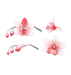 set phalaenopsis orchid pink red flowers on vector image