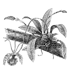 Butterfly Oncidium vintage engraving vector image