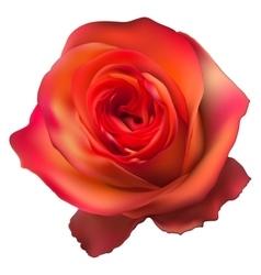 Orange Rose Flower isolated EPS 10 vector