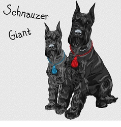 dogs breed Giant Schnauzer color black vector image