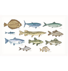 Set elegant drawings fish isolated on white vector