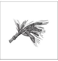 Bunch of malt barley ears sketch style vector image vector image
