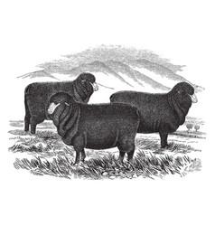 Merino ewes vintage vector