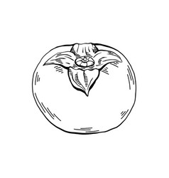 Hand-drawn persimmon sketch with hatching outline vector