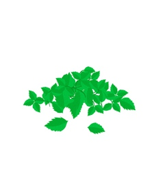 Heap of Holy Basil Leaves on White Background vector