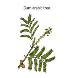 Gum arabic tree acacia senegal or kher vector