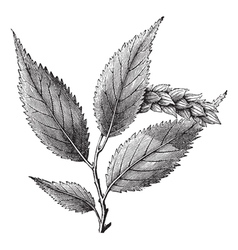 Hophornbeam vintage engraving vector image