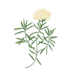 Labrador tea or wild rosemary flowers isolated vector