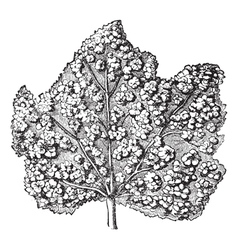 Galls Leave Engraving vector