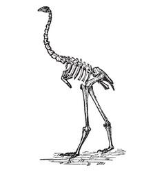 Dinornis skeleton vintage vector