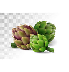 Group of fresh globe artichoke isolated on white vector