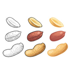 whole and half peanut seed with and without shell vector image