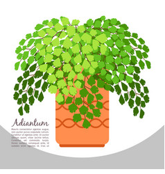 adiantum indoor plant in pot banner vector image