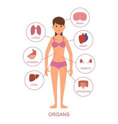 Internal organs of the human body anatomy vector