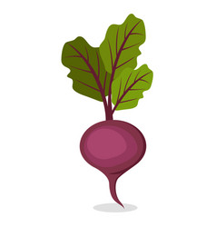 Organic sweet beet from farm isolated vector