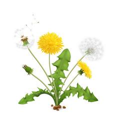 Realistic dandelion flower composition vector