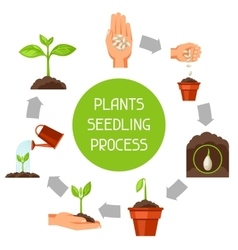 Seedling infographics with phases plant growth vector