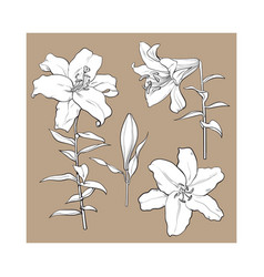 set of hand drawn white lily flowers side top vector image