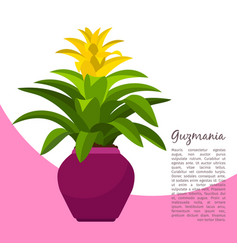 guzmania plant in pot banner vector image vector image