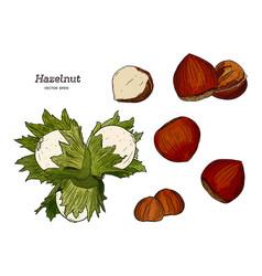 hazelnut nut seed vector image