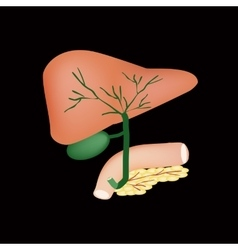 The anatomical structure of the liver gallbladder vector