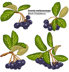Branches of black chokeberry vector