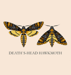 Deaths-head hawk moth vector