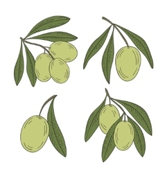 Branch of olive tree on a white background vector image