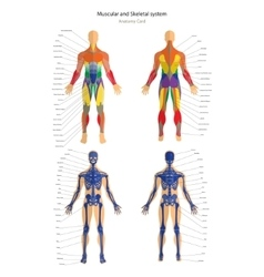 Anatomy guide Male skeleton and muscular system vector