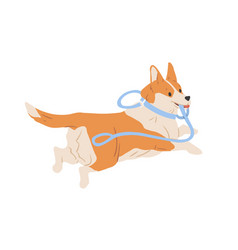 Cute welsh corgi dog running away with leash vector