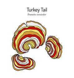 Turkey tail mushroom trametes versicolor vector