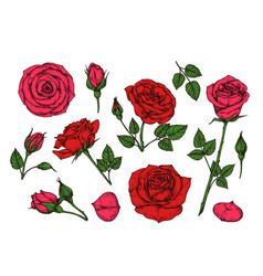 Red rose hand drawn roses garden flowers vector
