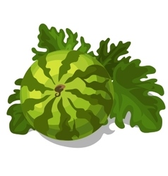 Big ripe juicy watermelon with leaves vector image vector image