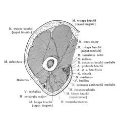 Cross section through arm below axilla vintage vector