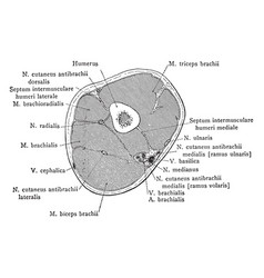 cross section through lower third upper vector image