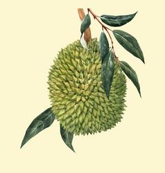 Watercolor durian fruit vector
