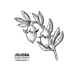 jojoba drawing isolated vintage vector image
