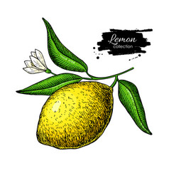 Lemon branch drawing summer fruit artistic vector
