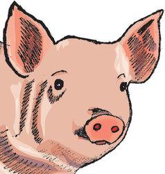 Pig vector
